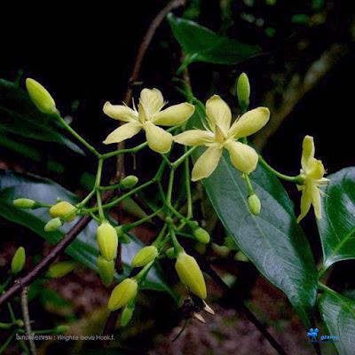 ดอกโมกเหลืองหอม ( Wrightia laevis ) ดอกโมกพื้นเมืองของไทย