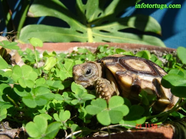 Chelonoidis chilensis - Tortuga argentina