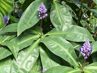 Gingembre bleu - Dichorisandra thyrsiflora