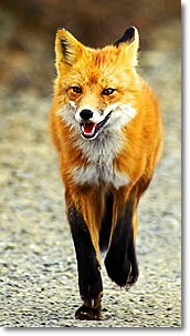 red fox facts, amazing facts