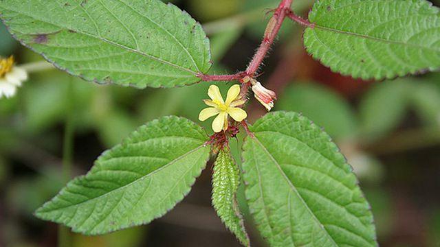 Hoa Rau Day - Corchorus olitorius - Nguyên liệu làm thuốc Chữa Bệnh Tiêu Hóa