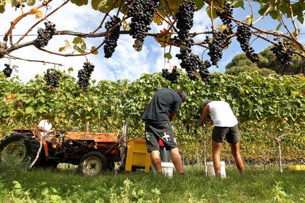 Hand-picking Syrah grapes from Cape Crest Vineyard, Te Awanga, for Clearview Estate Winery, Te Awanga. photograph