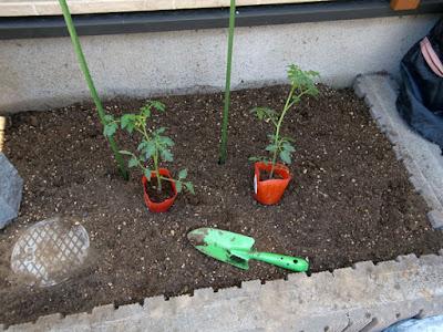 プチトマトの苗 2株