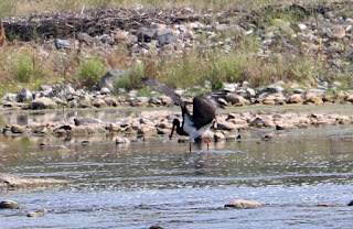 A black stork hunting in the shallows