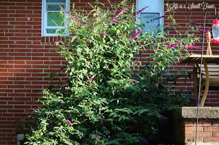 Overgrown butterfly bush beside a back porch
