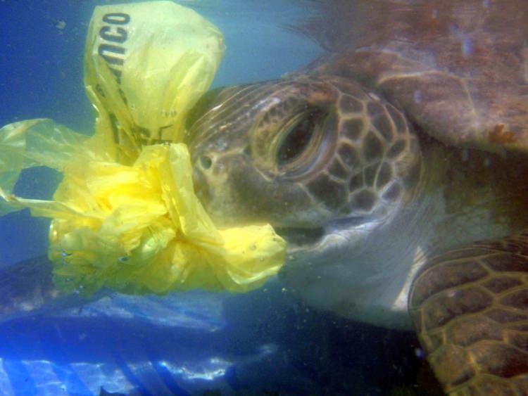 Tartaruga a comer plástico