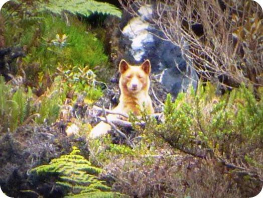 Akademisi Akhirnya Temukan Anjing Dataran Tinggi Papua