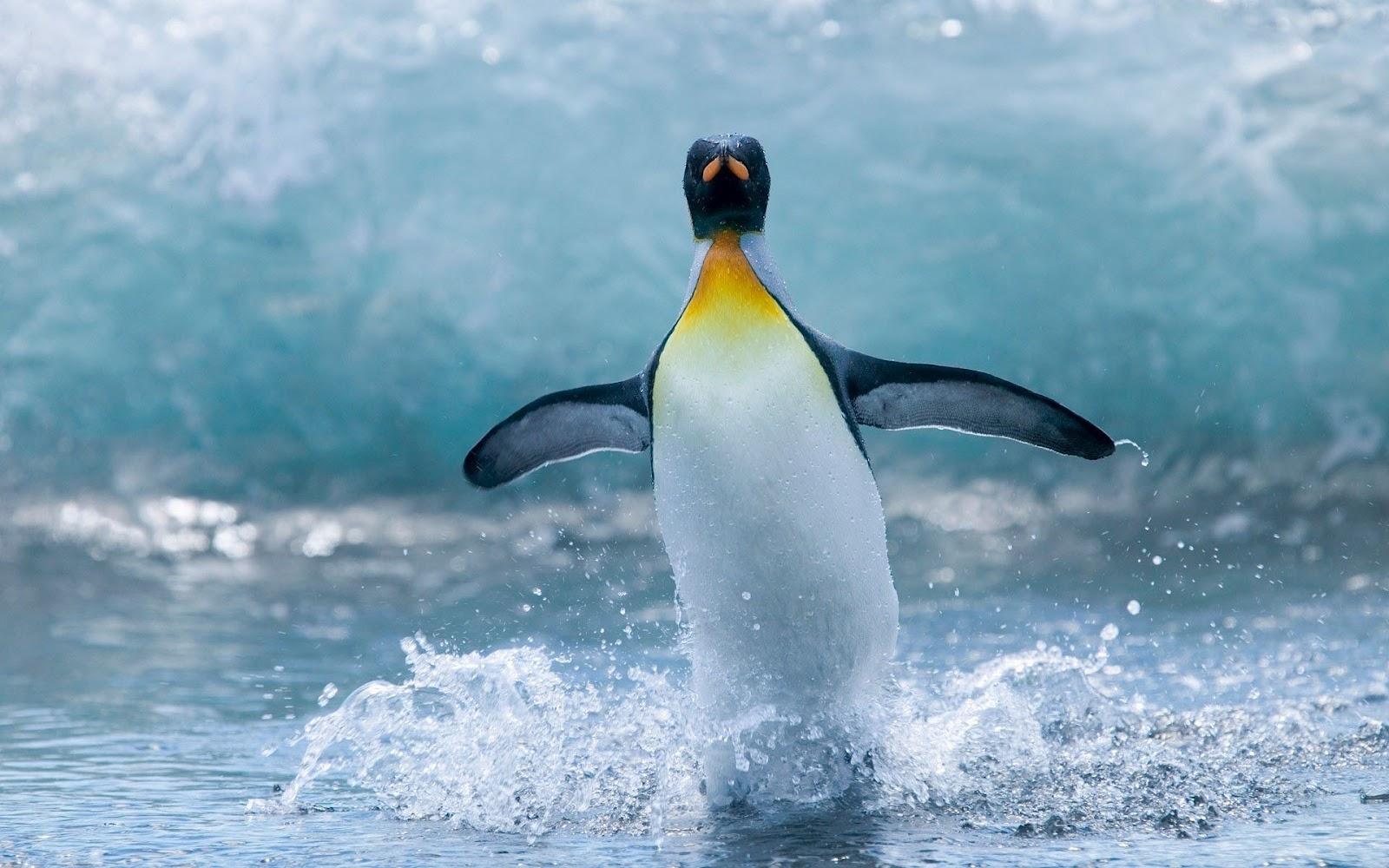 Penguin Pictures HD Wallpapers Download Penguin