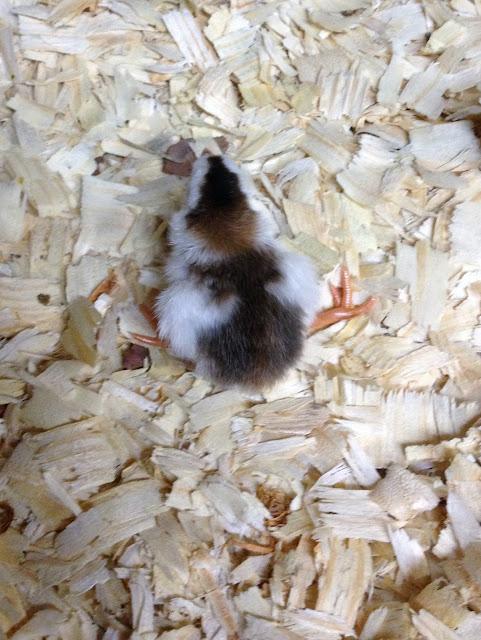 guinea keet colors