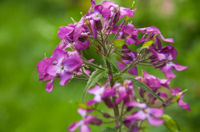 Пролетно-цвете-Sping-flower