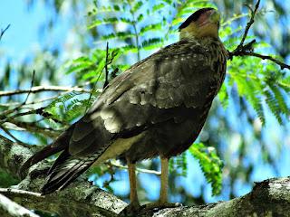 Gavião Macho no Topo de uma Árvore - Parque Saint Hilaire, Viamão