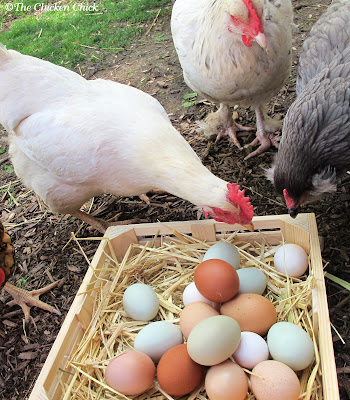 Thirsty hens may eat eggs for the liquid. (I think this theory is a stretch, but...it's possible.)