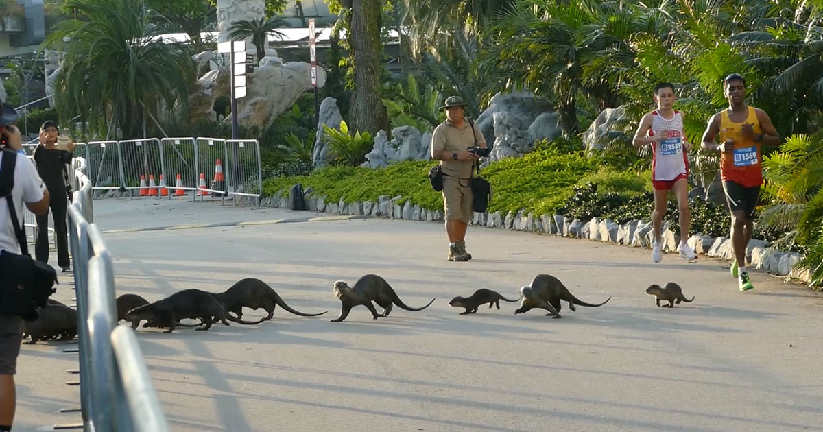 The otters showed up at Gardens by the Bay at about 7.30am