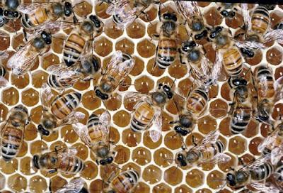 Lebah Madu Mampu Menyembuhkan Diri Sendiri  Lebah Madu Mampu Menyembuhkan Diri Sendiri