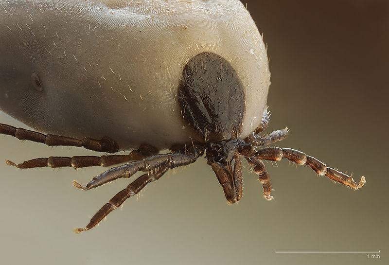 Arachnids: Ixodus ricinus