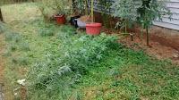 Rain Storm Broke Stem on a Kenaf Plant-