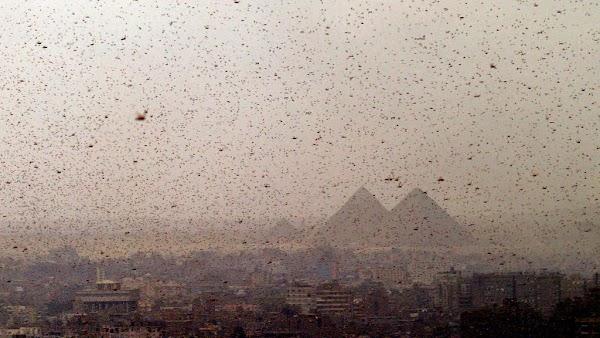Langostas invaden medio oriente como las plagas de egipto.