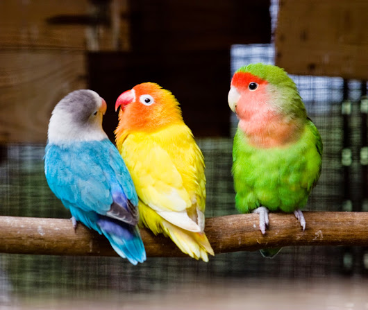 How to care for your love bird and keep it happy?