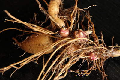 Permaculture Yacon tubers for sale Australia
