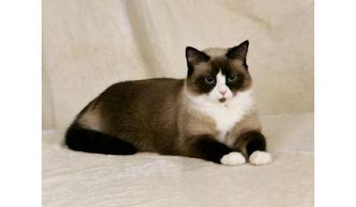 Snowshoe Cat Rare