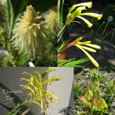 For Summer Gold Phylica, Ifafa lily Chasmanthe, Albuca
