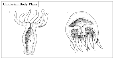 Cnidarians have two body plans: either a vase-shaped polyp (a) or a bellshaped medusa (b). Each plan is equipped with tentacles (1), a gastrovascular cavity (2), and a single body opening, the mouth (3).