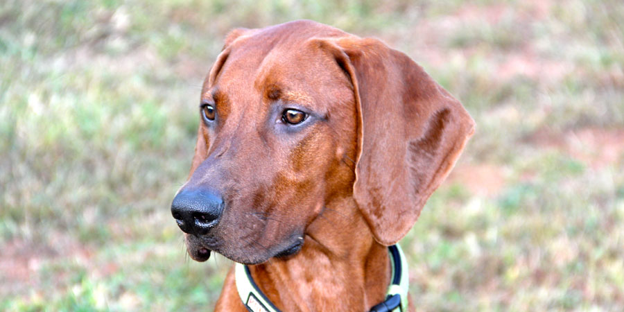 Everything about your Redbone Coonhound - LUV My dogs