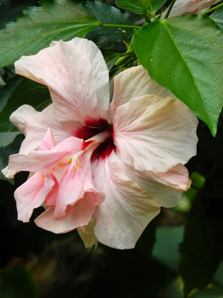 High Heaven double tropical hibiscus rosa sinensis Centennial Park Conservatory by garden muses-not another Toronto gardening blog