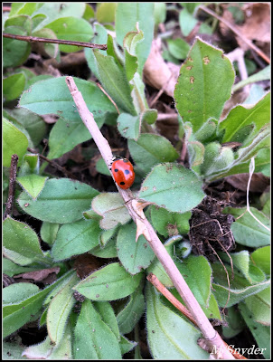 April 25, 2019 Finding Ladybugs in our garden.