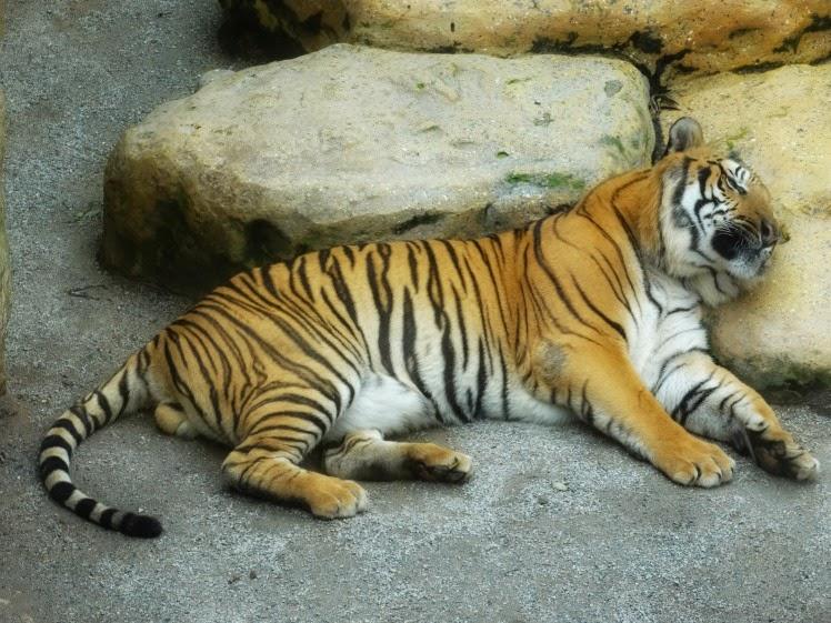 Tigre de bengala: um dos destaques da Passarela dos Felinos, no Mundo Animal, no Beto Carrero World