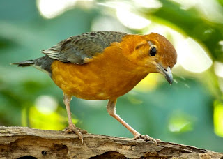 anis merah teler mp3, Cara Membuat Burung Anis Merah Teler Istimewa dengan Mudah Dan Cepat, cara merawat burung anis merah teler di tangan, teler doyong, teler klasik,