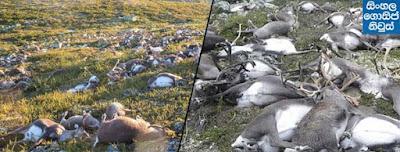 Lightning strike kills over 300 reindeer in Norway