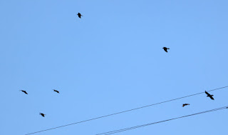 A school of crows, if that's the correct term?