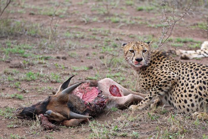 Gepard frisst nach der Jagd