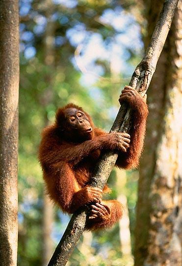 Image d 39 animaux singe rigolo accroch sur une branche d 39 arbre en pleine for t - Petit singe rigolo ...