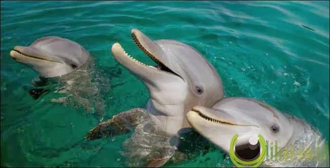 Lumba lumba berhitung untuk berburu