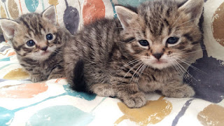 Munchkins kittens short legs