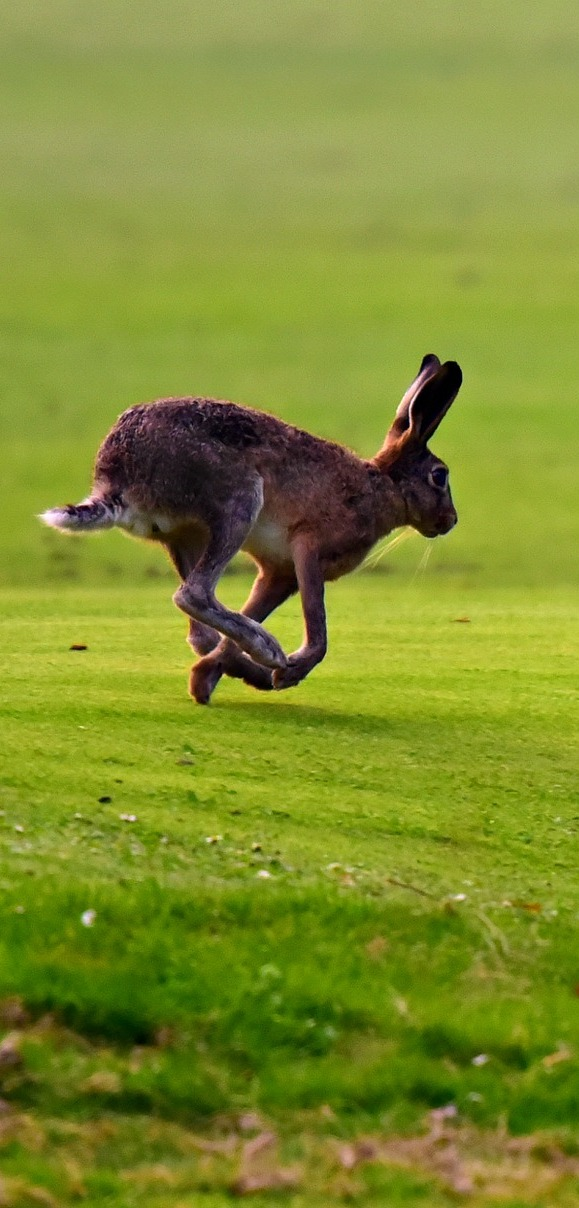 A hare running through the grass plain.