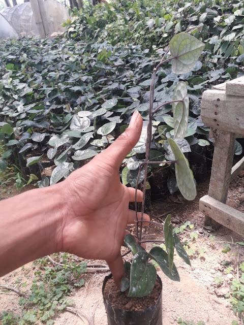 tanaman kemukus