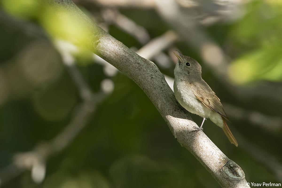 Rusty-tailed Flycatcher near Samarkand