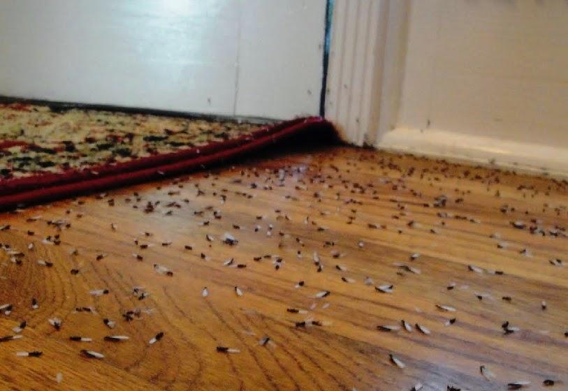 How Do I Identify Termites