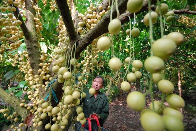 Vietnam And Fruit Kingdoms 5