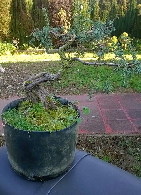 Resultado de imagen de Juniperus Oxycedrus Trasplante