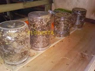 Toples semut rangrang