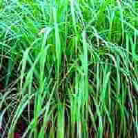Picture of Citronella Plant