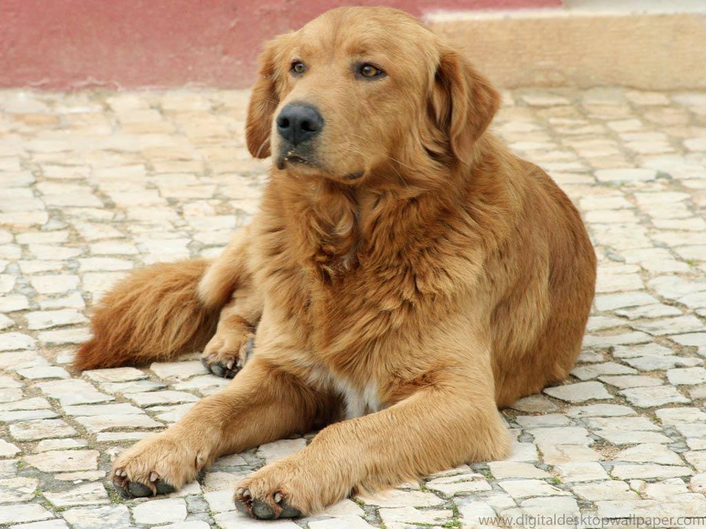 Golden Retrievers | Animal Literature