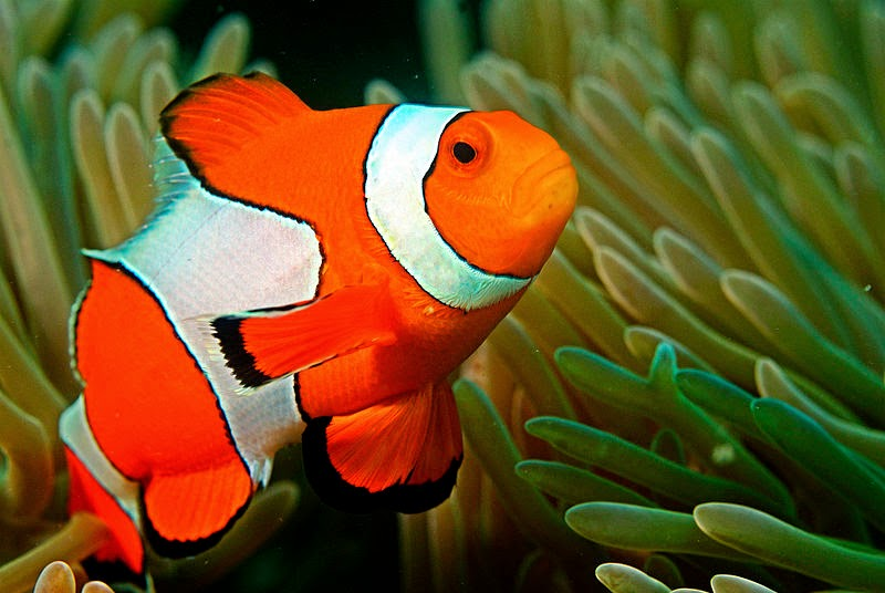 Interesting Facts About Clownfish