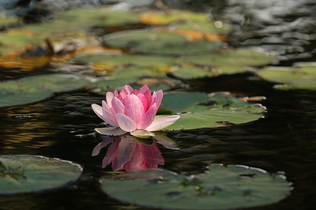 hoa sen hồng đẹp nhất 2