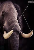 tusk, elephant tusk