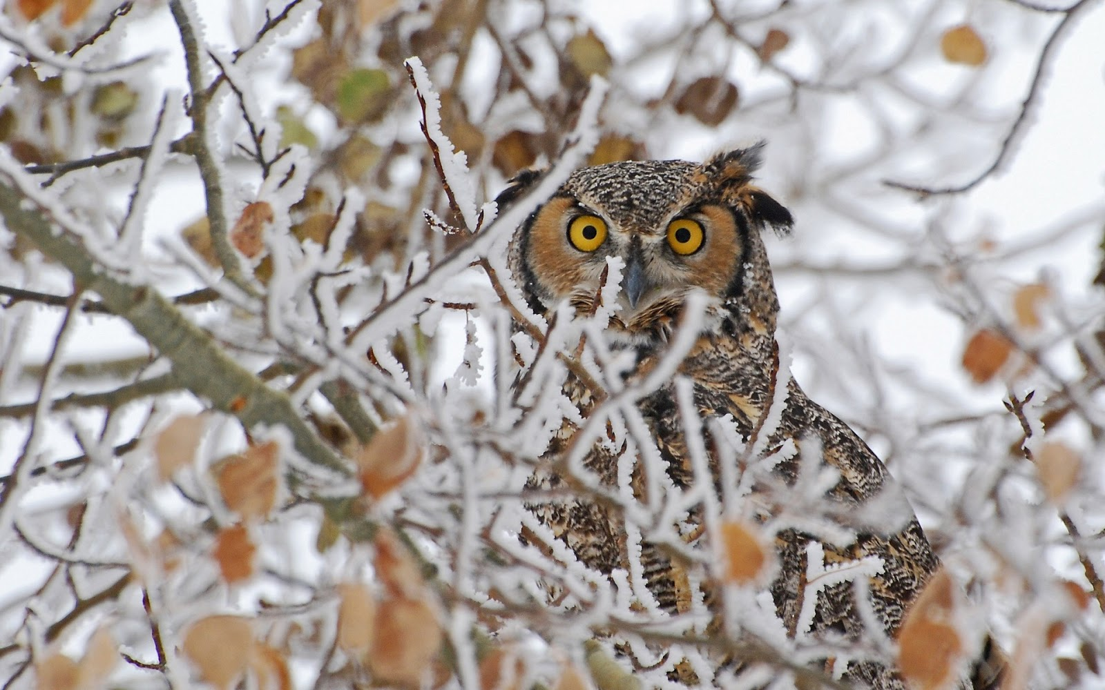 hd great horned owl - photo #23